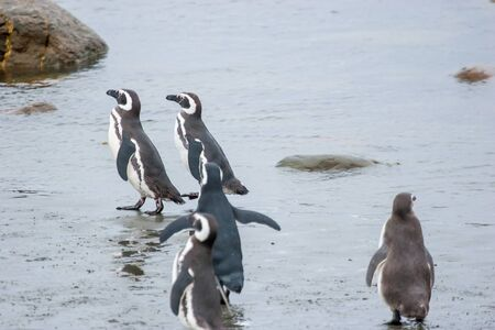 punta arenas: A group of magellanic penguins standing and walking in the sea shoal in Punta Arenas, Chile.