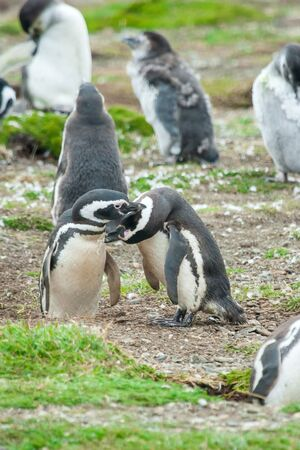 beaks: A group of magellanic penguins standing on a meadow with two of them touching each other with their beaks in Punta Arenas, Chile.