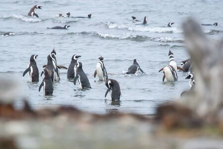 punta arenas: A large group of magellanic penguins standing and walking in the sea shoal in Punta Arenas, Chile.