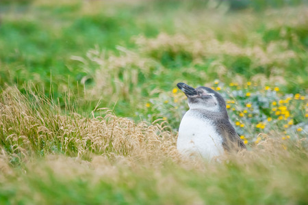 punta arenas: A side view of a magellanic penguin standing in a high grass on a meadow in Punta Arenas, Chile.