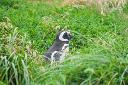 punta arenas: A side view of a magellanic penguin standing in high grass on a meadow in Punta Arenas, Chile.