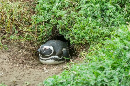 punta arenas: A magellanic penguin lying on the ground in a burrow in Punta Arenas, Chile.