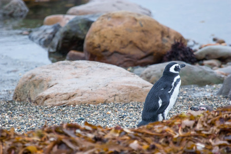 punta arenas: A side view of a magellanic penguin standing on the pebble sea shore in Punta Arenas, Chile.