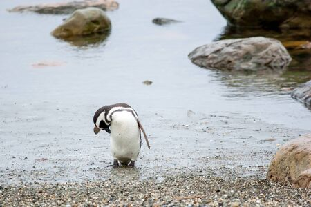 flipper: A front view of a magellanic penguin standing on the sea shore and touching his head with flipper in Punta Arenas, Chile.