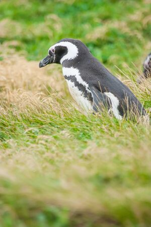 punta arenas: A side view of a magellanic penguin standing in a meadow in Punta Arenas, Chile.