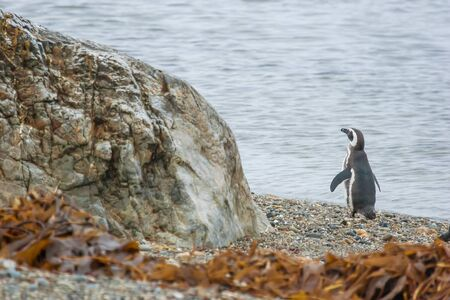 punta arenas: A rear view of a magellanic penguin standing on the pebble sea shore in Punta Arenas, Chile. Stock Photo