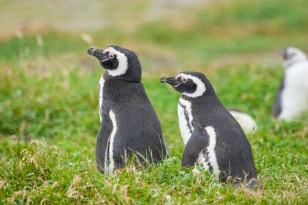 punta arenas: A close up of two magellanic penguins standing on a meadow in Punta Arenas, Chile. Stock Photo