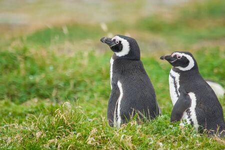 Un primo piano di due pinguini di Magellano in piedi su un prato a Punta Arenas, Cile.