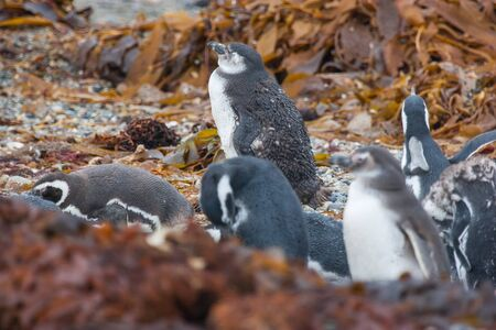 punta arenas: A large group of magellanic penguins standing on the pebble sea shore among the seaweed in Punta Arenas, Chile.