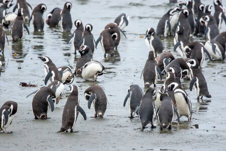 punta arenas: A large group of magellanic penguins standing and walking in shoal on the sea shore in Punta Arenas, Chile.