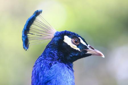 Una vista laterale di un pavone blu.