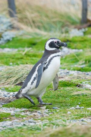 punta arenas: A side view of a magellanic penguin walking in a meadow in Punta Arenas, Chile. Stock Photo