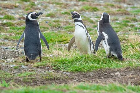punta arenas: Three magellanic penguins standing in a meadow in Punta Arenas, Chile.