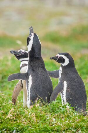 Tre pinguini di Magellano in piedi su un prato a Punta Arenas, Cile. Archivio Fotografico