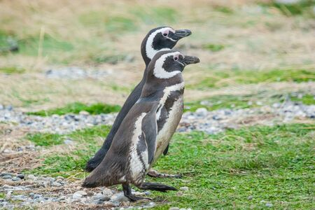punta arenas: A side view of two magellanic penguins walking side by side on a field in Punta Arenas, Chile. Stock Photo