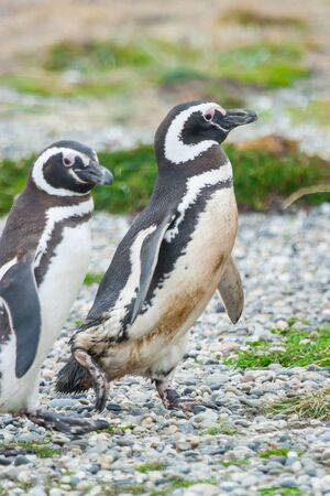 punta arenas: A side view of two magellanic penguins standing on a pebble field in Punta Arenas, Chile.