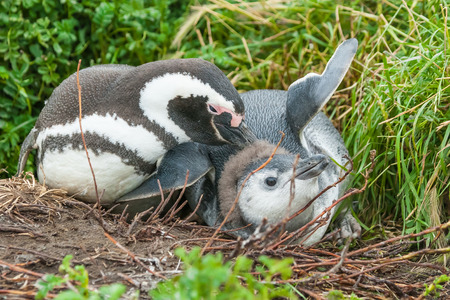 punta arenas: Youngling and adult magellanic penguins lying on the ground and parent penguin scratching the youngling head with his beak in Punta Arenas, Chile.