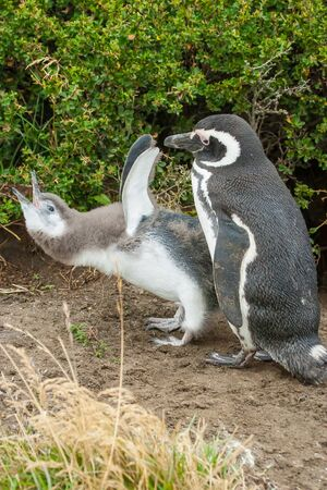 punta arenas: A side view of youngling and adult magellanic penguins standing on the ground with youngling leaning forwards and opening his mouth in Punta Arenas, Chile. Stock Photo