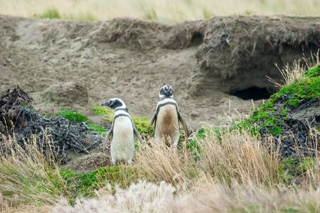 punta arenas: A front view of two magellanic penguins standing in high grass with one of them looking sideways on a hilly field in Punta Arenas, Chile.
