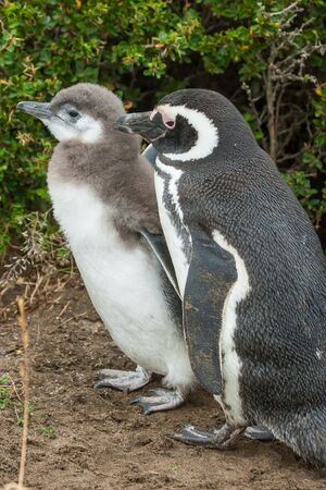 punta arenas: A side view of youngling and adult magellanic penguins standing on the ground in Punta Arenas, Chile.
