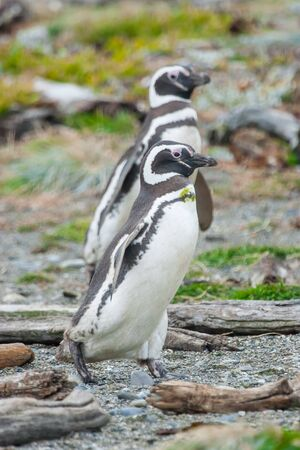 gritty: A side view of two magellanic penguins walking on gritty shore in Punta Arenas, Chile.