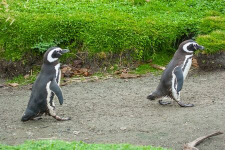 punta arenas: A side view of two magellanic penguins walking on rustic road in Punta Arenas, Chile.