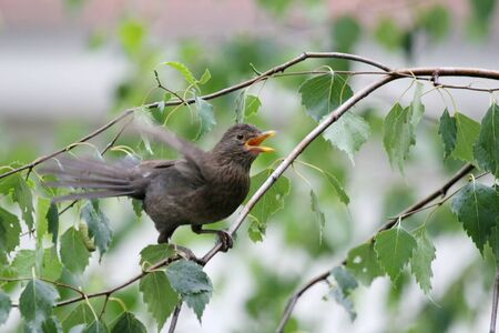 flapping: A side view of a blackbird with an open beak and flapping wings and standing on a birch tree branch in nature.