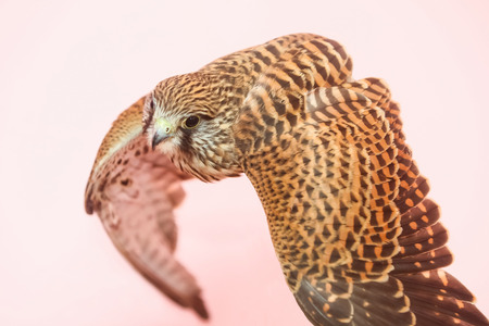A lanner falcon flying on isolated background. Stock Photo