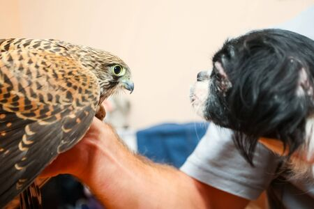 lanner: A side view of a lanner falcon on human hand and a pekingese dog looking at each other.