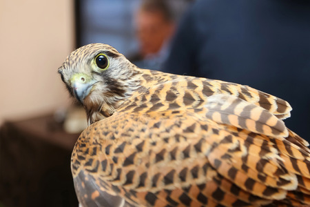 lanner: A side view of a lanner falcon looking at camera.