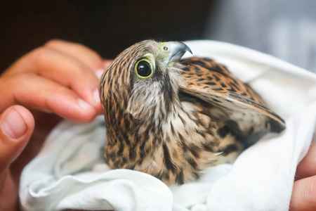 A close up of human hands holding a hawk wrapped in a towel.