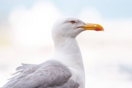 A side view of a seagull looking away.