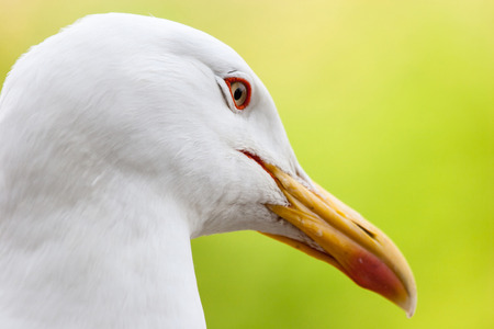 head shot: A side view of a seagull head shot. Stock Photo