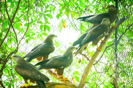 medium group: A medium group of hawks standing on a branch in front of iron fence in captivity.