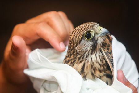 lanner: A close up of human hands holding a hawk wrapped in a towel.