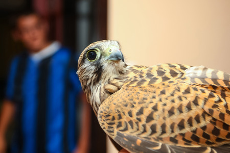 lanner: A side view of a lanner falcon with a boy standing behind him. Stock Photo