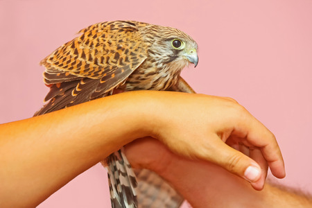 A side view of a lanner falcon standing on human hands.