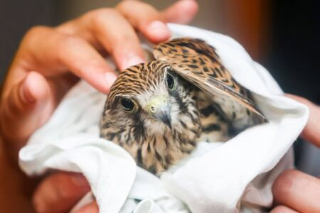 lanner: A close up of human hands holding a hawk wrapped in a towel and looking at camera.