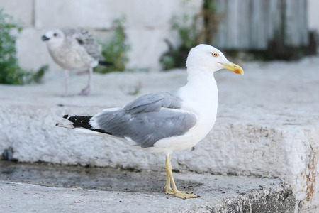 concrete steps: A side view of a seagull standing on concrete steps in town Rovinj, Croatia. Stock Photo