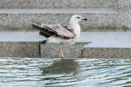 A side view of a young seagull standing on water fountain in city. photo