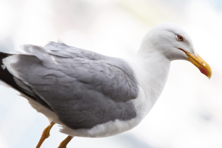 aslant: A askew side view of a seagull standing.