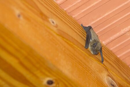 A close up of a bat hanging upside down on a wooden beam on the ceiling inside a house.