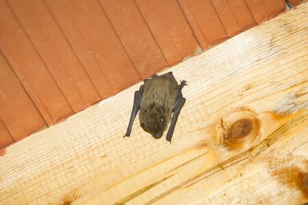 Un pipistrello appeso a testa in gi� su una trave di legno sul soffitto all'interno di una casa. Archivio Fotografico