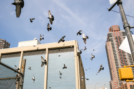 palomas volando: Flock of pigeons flying in the street in Midtown Manhattan in New York City, USA.
