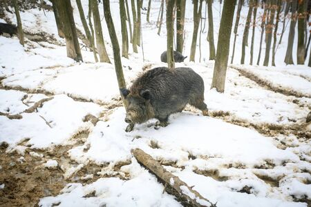 mud snow: A wild boar walking in the mud covered with snow in the forrest.