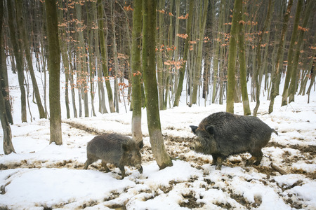 mud snow: Two wild boars walking in the mud covered with snow in the forrest.