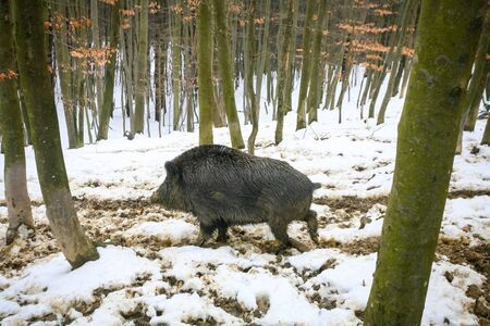 mud and snow: A side view of a wild boar walking in the mud covered with snow in the forrest.