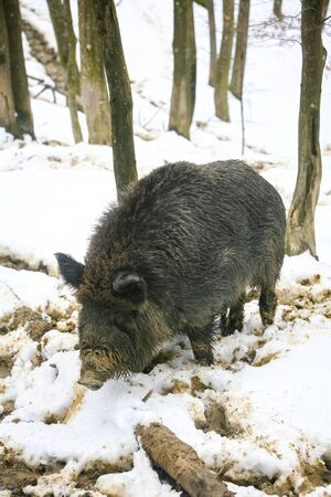 mud snow: A wild boar standing in the mud covered with snow in the forrest.