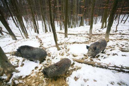 mud and snow: Wild boars searching for food with their snouts in the mud covered with snow in the forest.
