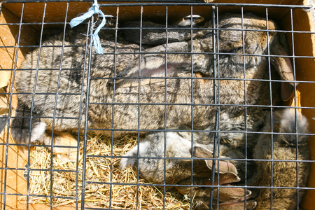 rabbit in cage: Mother rabbit with two young rabbits in a cage.